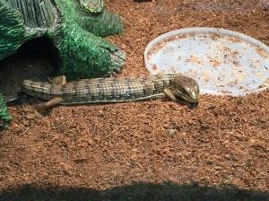 An Alligator Lizard!