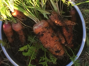 Newest batch of carrots.