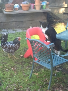 Chicken and Tux, the cat facing off.